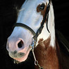 Beautiful Oliver is a 7 years old Criollo Gelding (Appaloosa/Paso mix) & he sadly must go to a good home.  <br /> <br /> He has beautiful markings, a smooth gait, is spirited, full of personality and very allegre - VERY SPECIAL!!!<br /> <br /> His sire is a reining champion & mother is the granddaughter of Troyianna<br /> <br /> $4,500  <br /> <br /> 8-378-6679 / info@CostaRicaResourceGuide.com