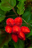 The seed pod fruits of the lipstick tree near Puerto Limon, Costa Rica, Central America.