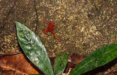 jungle-frog