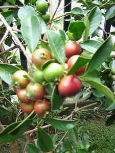 Güísaros (Psidium savanarum)