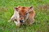 A young calf in the village of El Dos de Tillaram in Costa Rica, Central America.