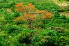 The orange flowers of the Malinche tree on the hillsides near the village of Sarchii, Costa Rica, Central America.