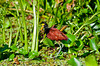 The Northern Jacana bird in the marshes of the Tortuguero National Park, Costa Rica, Central America.