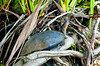 A large turtle sunning on a branch in Tortuguero National Park, Costa Rica, Central America.