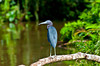 A blue heron perched on a branch in Tortuguero National Park, Costa Rica, Central America.