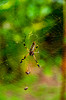 A large spider in it's web at the Pachira Lodge in Tortuguero National Park, Costa Rica, Central America.