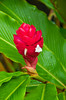 Closeup of the red ginger flower in Costa Rica, Central America.
