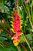 Closeup of the red heliconia flowers in Costa Rica, Central America.
