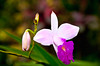 Closeup of the Bamboo Orchid flower in Costa Rica, Central America.