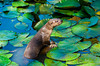 """""""Frankie"""" the River Otter in a protected pond in Costa Rica, Central America."""