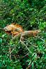 Iguanas in breeding color in a tree in Costa Rica, Central America.