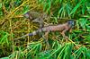 Green iguanas in a tree in Costa Rica, Central America.