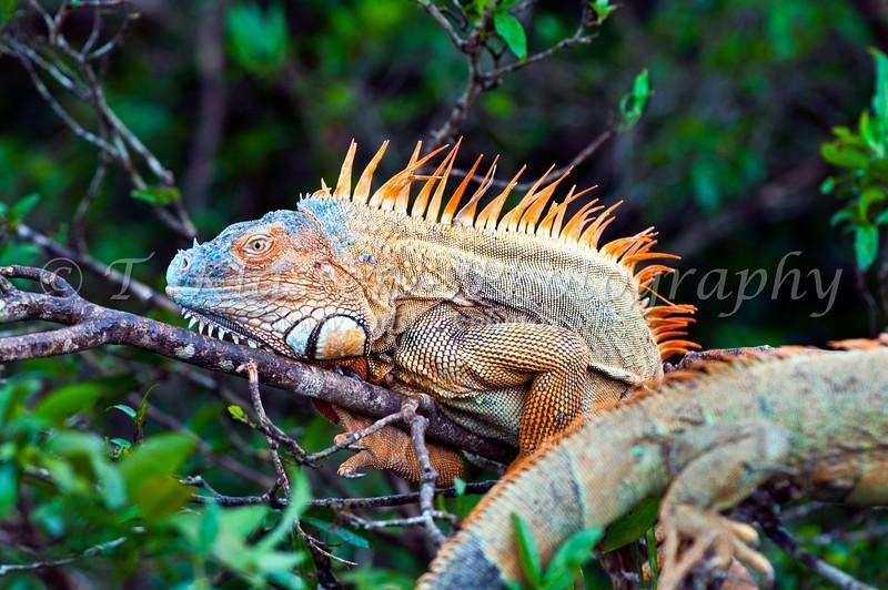 An iguana in breeding color in a tree in Costa Rica, Central America.