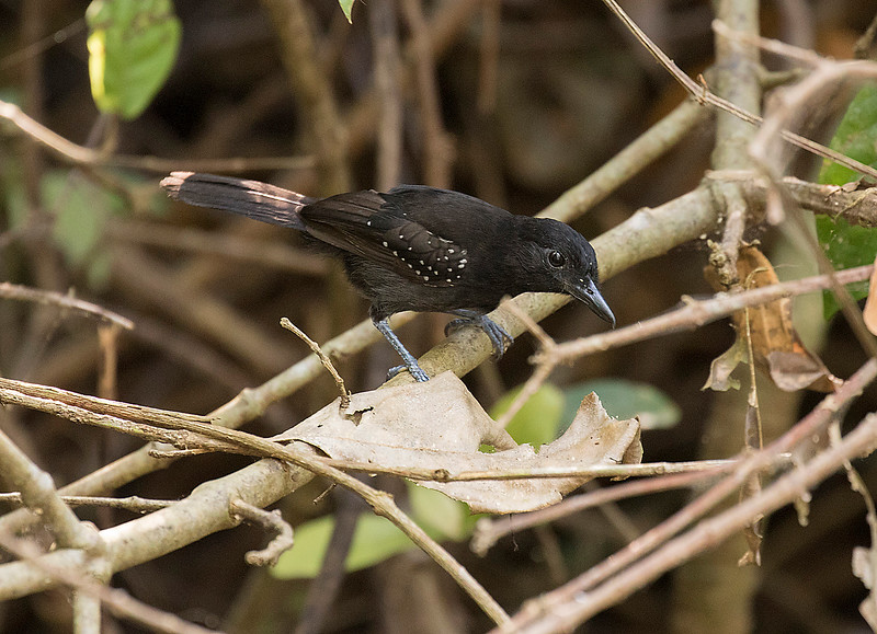 Black-hooded Antshrike, male