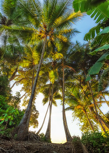 Coconut tree golden hour
