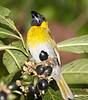 Black Faced Grosbeak