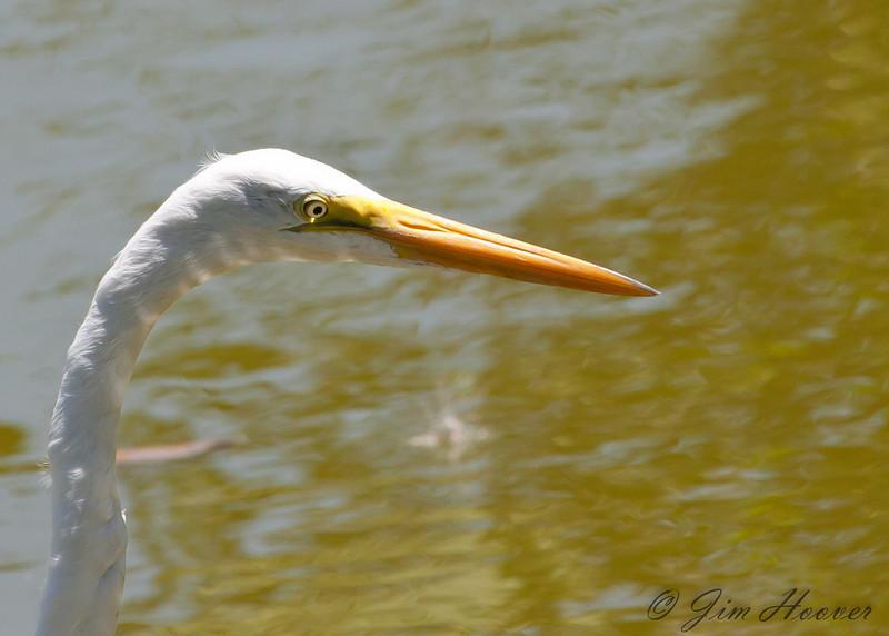 Great Egret at Playa Conchal