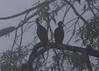 Green Ibis in morning fog<br /> La Selva Biological Station