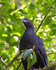 Black Guan<br /> Monteverde Cloud Forest