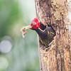 Pale-billed Woodpecker<br /> Selva Verde