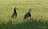 Black Vultures at Los Inocentes