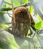 Vermiculated Screech-owl<br /> La Selva Biological Station