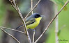 Common Tody-Flycatcher at La Carolina Lodge