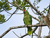 Red-lorred Parrot