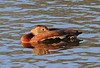Black-bellied Whistling Duck at Playa Conchal
