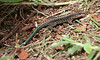 Central American Whip-tailed Lizard
