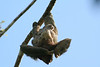Three-toed Sloth with infant