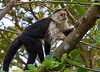 White-faced Capuchin Monkeys<br /> Rainbow Valley Lodge