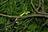 Side-striped Palm-Pit Viper