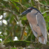 This is a boat-billed heron, one I haven't seen in Florida. It was hiding in a tree near a bunch of bats.