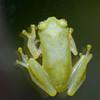 Glass Frog<br /> Jardin Zoologico de Serpientes de Arenal <br /> El Castillo, Costa Rica