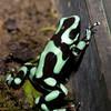 green and black poison dart frog<br /> Dendrobates auratus<br /> Jardin Zoologico de Serpientes de Arenal<br /> El Castillo, Costa Rica