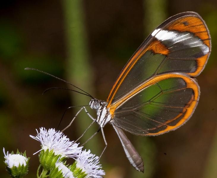 GLASSWING - Greta oto<br /> Butterfly Conservatory, El Castillo, Costa Rica