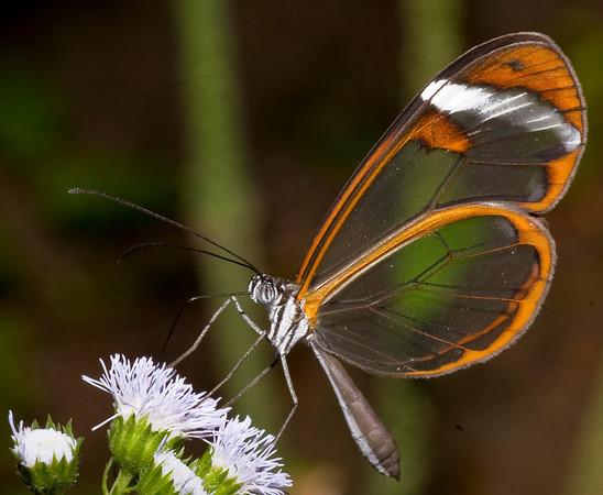 GLASSWING - Greta oto Butterfly Conservatory, El Castillo, Costa Rica