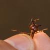 leaf cutter ant<br /> Monteverde