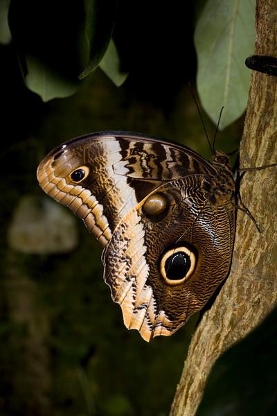 Caligo sp. - Owl Butterfly<br /> Butterfly Conservatory, El Castillo, Costa Rica