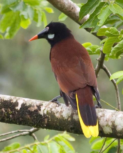 Montezuma Oropendola<br /> Arenal Observation Lodge, Costa Rica