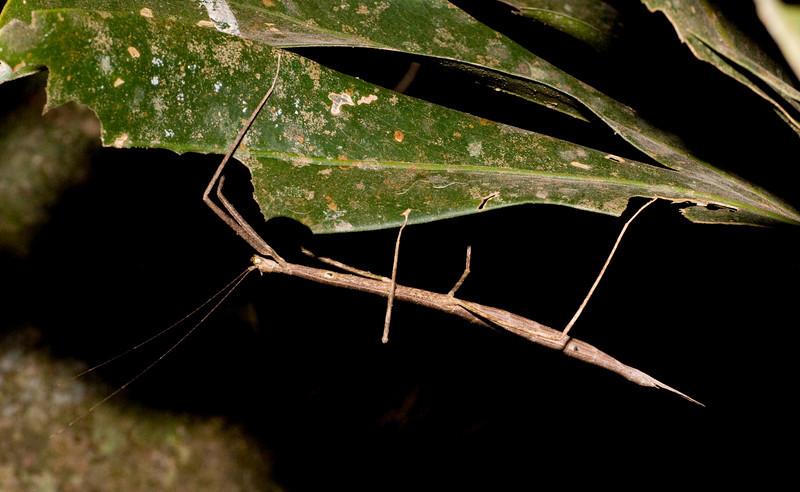 walking stick<br /> Monteverde