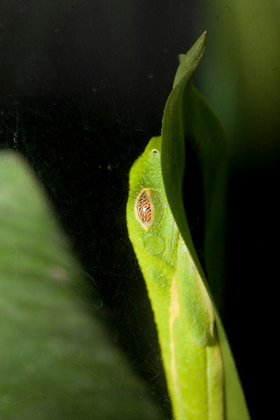 Red Eye Tree Frog - Butterfly Conservatory, El Castillo, Costa Rica