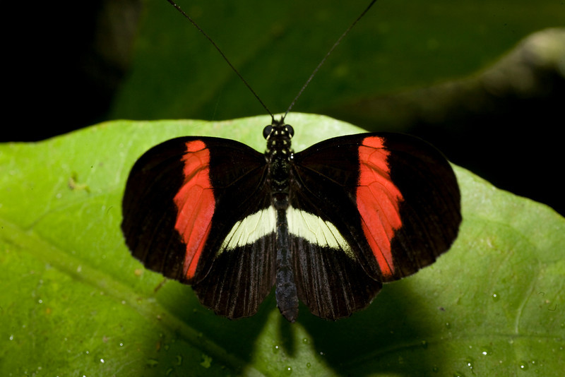 Heliconius erato - Red passion butterfly<br /> Butterfly Conservatory, El Castillo, Costa Rica