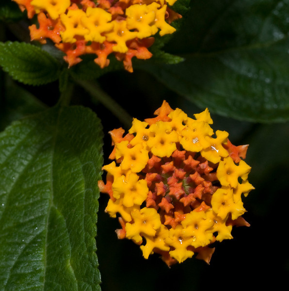 Lantana <br /> Arenal Observation Lodge, Costa Rica