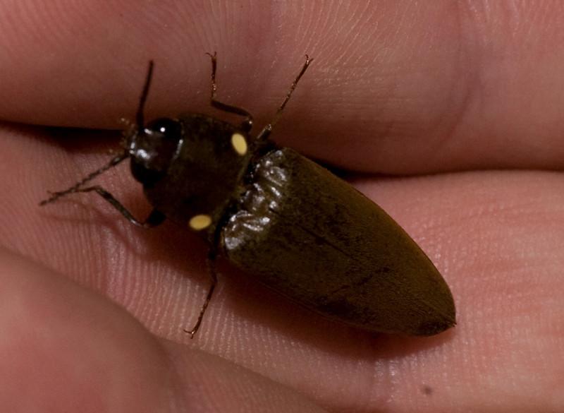 glowing click beetle <br /> Monteverde