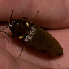 glowing click beetle <br /> Monteverde