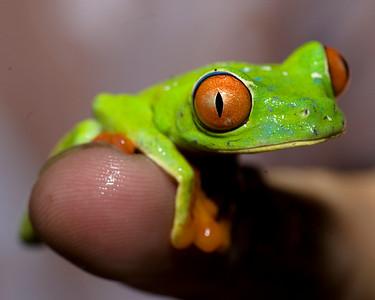 Red Eye Tree Frog  Jardin Zoologico de Serpientes de Arenal   El Castillo, Costa Rica