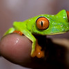 Red Eye Tree Frog <br /> Jardin Zoologico de Serpientes de Arenal <br />  El Castillo, Costa Rica