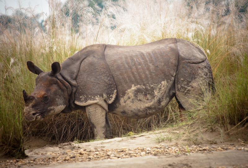 Asian One-horned Rhinoceros - Rhinoceros unicornis - Chitwan National Park